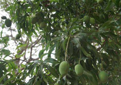 ein-mangobaum